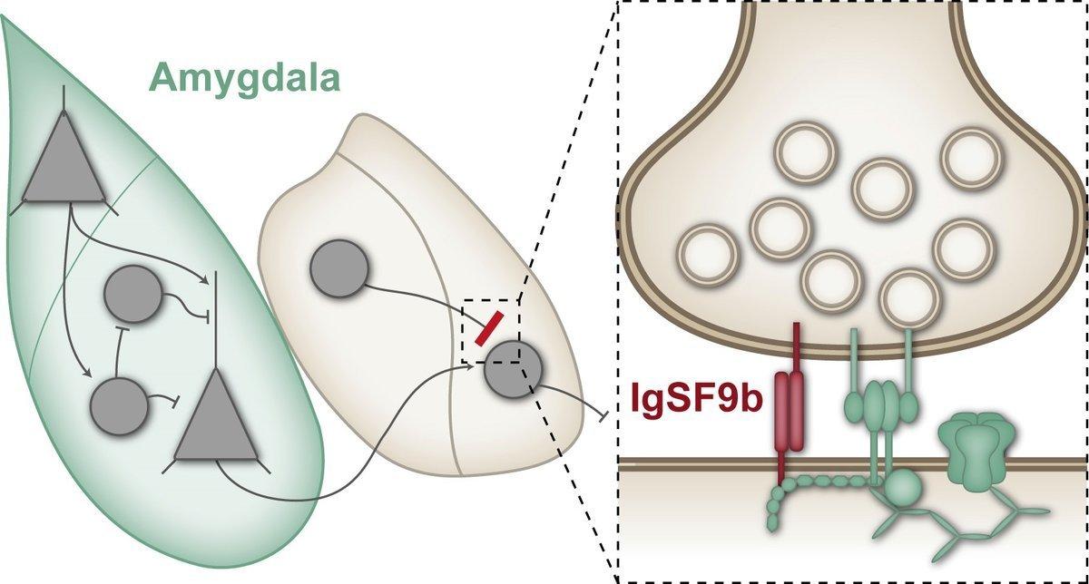 Synaptic protein regulates anxiety behaviour