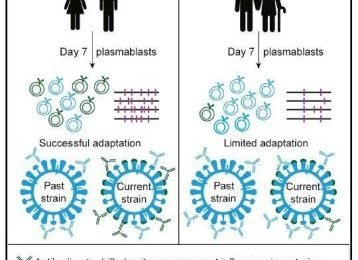 A lack of antibody diversity may make the elderly more susceptible to the flu