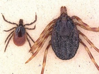This new and dangerous tick species is increasingly being demonstrated in Germany