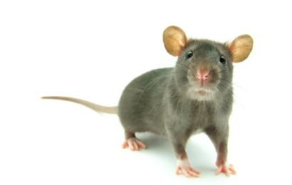I feel you: Emotional mirror neurons found in the rat