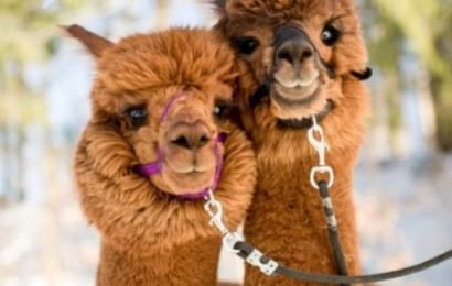 'Nanobodies' from alpacas could help bring CAR T-cell therapy to solid tumors: Unusually small antibodies, targeted to the tumor micro-environment, curb melanoma and colon cancer in mouse models