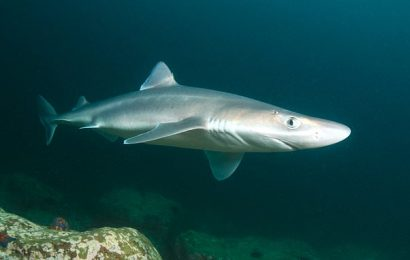 HEALTH NOTES:How sharks aid Parkinson's patients