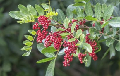 Pepper tree against antibiotic resistance – natural healing naturopathic specialist portal