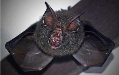 How do viruses evolve in bats?