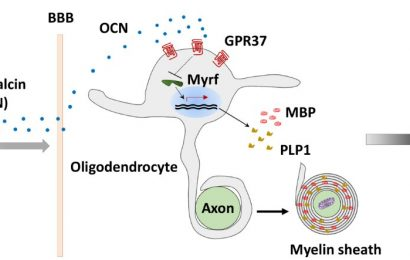 Researchers reveal mechanism of oligodendrocyte myelination by osteocalcin hormone